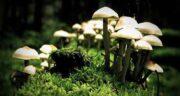فواید قارچ ها ؛ فواید قارچ خشک شده + خواص قارچ کوهی