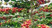 قهوه سبز و دیابت ؛ ایا مصرف قهوه سبز قاتل دیابت است