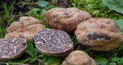 کالری قارچ دنبلان ؛ کالری قارچ دنبلان تفت داده شده چقدره