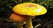 خواص قارچ در بدنسازی ؛ مصرف قارچ کبابی برای عضله سازی
