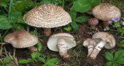 خواص قارچ در بارداری ؛ خاصیت خوردن قارچ در دوران بارداری