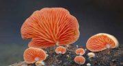 خواص قارچ در طب سنتی ؛ خاصیت قارچ کامبوجا در طب سنتی
