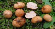 خواص قارچ دنبلان چیست ؛ فواید قارچ دنبلان کوهی چیست