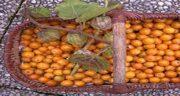 خواص میوه فیسالیس در بارداری ؛ مصرف میوه فیسالیس در بارداری