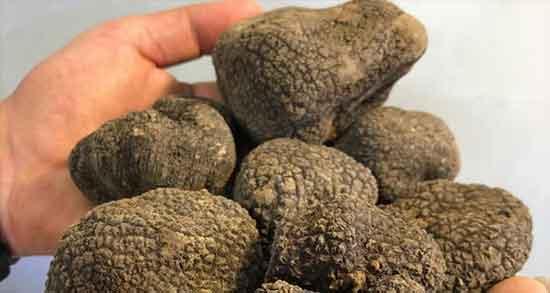 خواص و مضرات قارچ دنبلان ؛ فواید و عوارض مصرف قارچ دنبلان