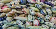 مضرات باقلا برای کلیه ؛ ایا مصرف باقالا برای سنگ کلیه ضرر دارد