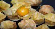 مضرات میوه فیسالیس ؛ عوارض مصرف میوه فیسالیس برای بدن چیست