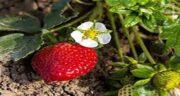 مضرات توت فرنگی گلخانه ای ؛ عوارض مصرف توت فرنگی گلخانه ای