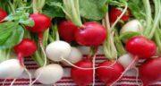 روش کاشت تربچه ؛ دستور کاشت تربچه قرمز در باغچه چیست