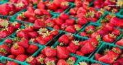 طرز تهیه میوه خشک توت فرنگی ؛ خشک کردن توت فرنگی روی پکیج