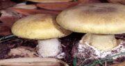 طرز تهیه قارچ برای کودکان ؛ طرز تهیه سوپ قارچ برای کودکان