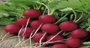 تربچه قرمز چه خواصی دارد ؛ خواص و مضرات تربچه قرمز چیست