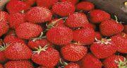 توت فرنگی و دیابت ؛ توت فرنگی یک میوه کاهش دهنده قند خون