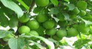خواص برگ گوجه سبز ؛ فواید و کاربردهای درمانی برگ گوجه سبز