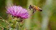 خواص عسل کنگر ؛ خاصیت دارویی خوردن عسل کنگر برای کبد ، کلیه و کیسه صفرا