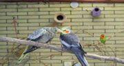 خواص لبو برای طوطی عروس ؛ خاصیت استفاده از لبو برای تغذیه طوطی عروس