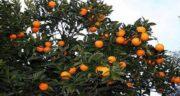 خواص نارنج برای ریزش مو ؛ تاثیر استفاده از نارنج برای درمان ریزش مو
