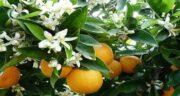 خواص نارنج و عسل ؛ درمان خانگی سرفه و گلو درد با مصرف نارنج و عسل