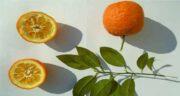 خواص نارنج و لاغری ؛ کاهش وزن وتناسب اندام با خوردن نارنج