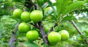 خواص گوجه سبز رسیده ؛ فواید شگفت انگیز خوردن گوجه سبز برای بدن