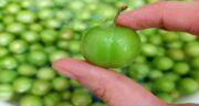 خواص گوجه سبز و مضرات آن ؛ همه چیز درباره خواص و مضرات مصرف گوجه سبز