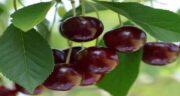 خواص گیلاس جنگلی ؛ بررسی خواص دارویی و درمانی خوردن گیلاس جنگلی