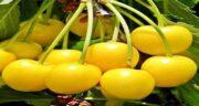 خواص گیلاس زرد ؛ ارزش غذایی و فواید درمانی خوردن گیلاس زرد برای سلامتی