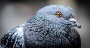داروی کنگر برای کبوتر ؛ خاصیت دارویی کنگر برای بیماری های کبوتران