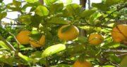 درخت لیمو سنگی ؛ شرایط کاشت و پرورش درخت لیمو سنگی چگونه است