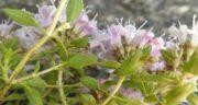 طریقه مصرف کاکوتی ؛ بهترین روش مصرف گیاه کاکوتی