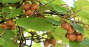 فصل کیوی ؛ آغاز برداشت میوه کیوی چه فصلی است