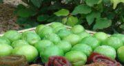 فصل گوجه سبز ؛ میوه گوجه سبز به عنوان میوه نوبرانه فصل بهار