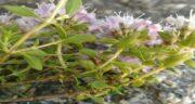فواصد و مضرات کاکوتی ؛ آشنایی با خواص و مضرات مصرف گیاه کاکوتی