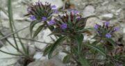 فواید کاکوتی کوهی ؛ خواص کاکوتی و کاربردهای دارویی گیاه کاکوتی کوهی