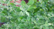 مرزنجوش برای معده ؛ درمان ناراحتی های معده با مصرف گیاه مرزنجوش