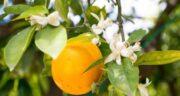 مضرات نارنج برای سرماخوردگی ؛ عوارض مصرف نارنج برای زمان سرماخوردگی
