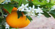 نارنج برای سنگ کلیه ؛ خاصیت مصرف نارنج برای سنگ شکن کردن سنگ کلیه
