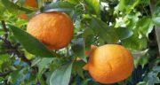 نارنج و سرماخوردگی ؛ روش استفاده از نارنج برای درمان سرماخوردگی