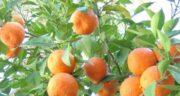 نارنج و لاغری ؛ آب کردن چربی و کمک به کاهش وزن با مصرف نارنج