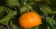 نارنگی برای عروس هلندی ؛ ارزش غذایی و خواص دادن نارنگی به عروس هلندی