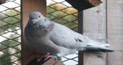کنگر برای کبوتر ؛ ارزش غذایی کنگر برای استفاده خوراک کبوتر
