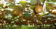 کیوی درخت است یا بوته ؛ آشنایی کامل با درخت کیوی و شرایط نگه داری و پرورش