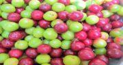 گوجه سبز قرمز ؛ همه چیز درباره خواص و فواید درمانی گوجه سبز قرمز