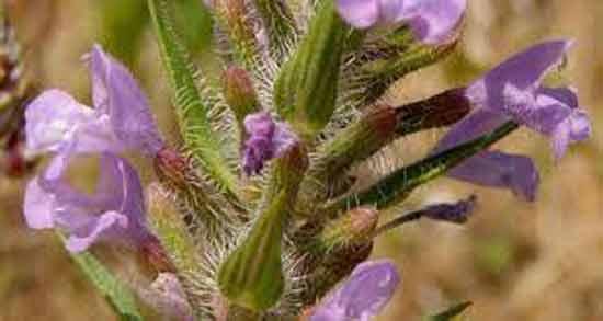گیاه کاکوتی چیست ؛ آشنایی با خواص ، مضرات و مشخصات ظاهری کاکوتی
