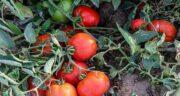 خواص گوجه فرنگی برای اسپرم ؛ فواید گوجه فرنگی برای پروستات مردان