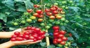 خواص خوردن گوجه فرنگی برای پوست ؛ گوجه فرنگی برای سفیدی پوست
