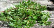 مضرات گیاه خرفه ؛ عوارض خوردن خرفه در دوران بارداری