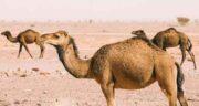 آیا ادرار شتر نجس است ؛ ادرار شتر پاک است یا نجس؟