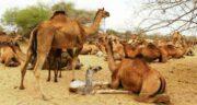 ادرار شتر امام صادق ؛ آشنایی با خاصیت درمانی ادرار شتر از نظر امام صادق