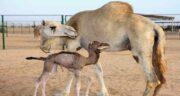 ادرار شتر برای درمان کرونا ؛ مقابله با ویروس کرونا با مصرف ادرار شتر